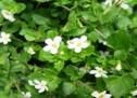 पुनर्नवा पौधा बीमार गुर्दे को कर सकता है स्वस्थ (14 मार्च : विश्व किडनी दिवस)